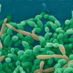 Candida tropicalis : champignon levure mycoses des pieds